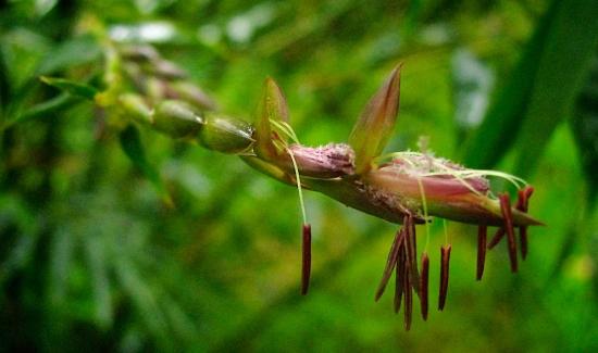 Tìm hiểu loài hoa trăm năm mới nở một lần
